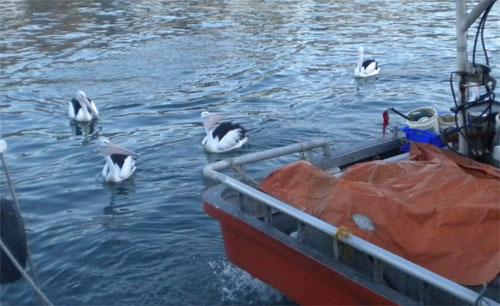 Pelicans in Wollongong