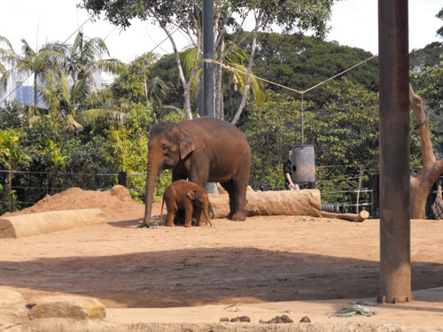 Baby elephant called Luk Chai