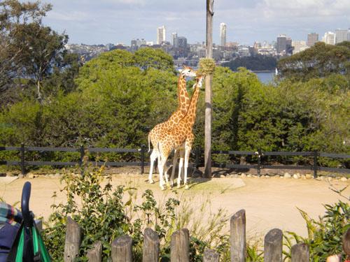 Giraffes munching away in Taronga