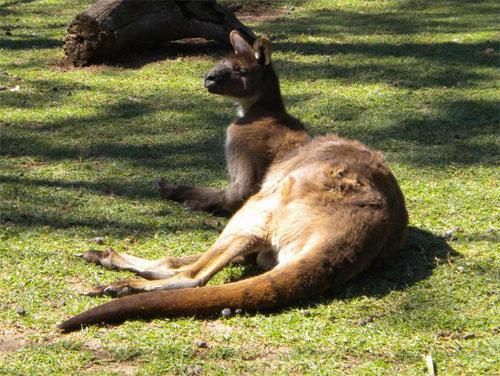 An alert kangaroo