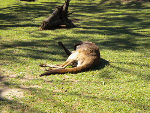 They have also lazy kangaroos here