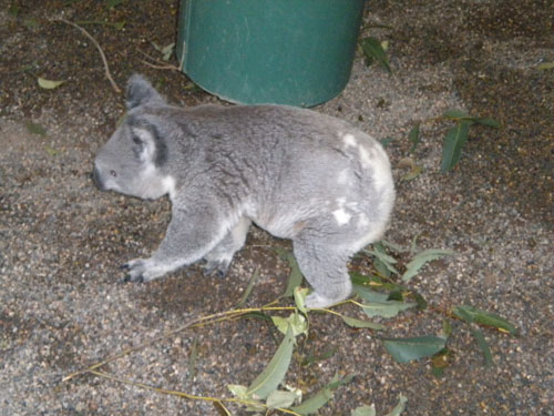 A walking koala