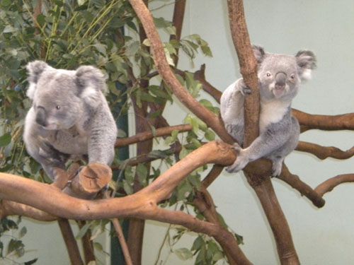 Koalas, awake for a change!