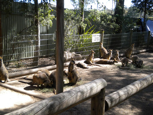 Lots of wallabies