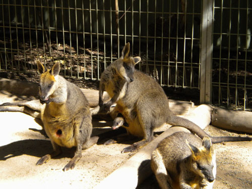 Wallabies had babies