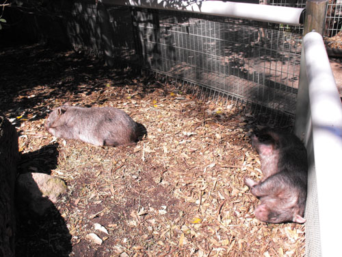 Wombats - sunbathing!